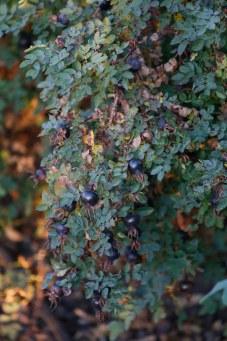 Nypon på pimpinellros, Rosa spinosissimagruppen 'Single Cherry'