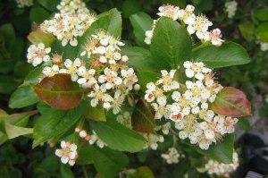 Slånaronia-blom