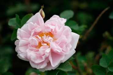 Pimpinellros, Rosa spinosissimagruppen 'Stanwell Perpetual'