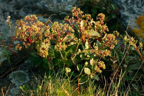 Vildväxande kärleksört, Hylotelephium telephium ssp. maximum