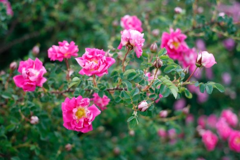 Pimpinellros, Rosa spinosissimagruppen 'William III'