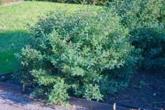 Pimpinellros, Rosa spinosissimagruppen 'William III', höst