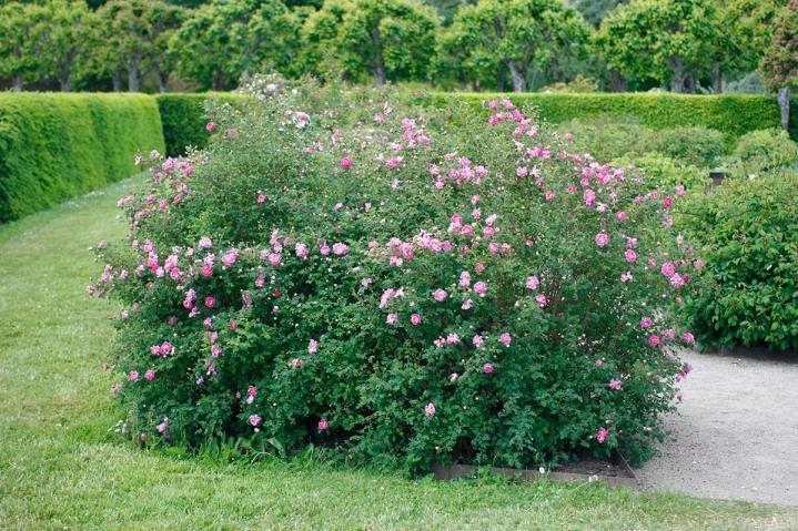 Pimpinellros, Rosa spinosissimagruppen 'William III'