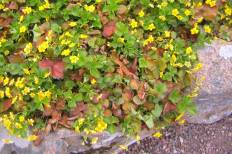 Gullgröna, Waldsteinia ternata, i blom