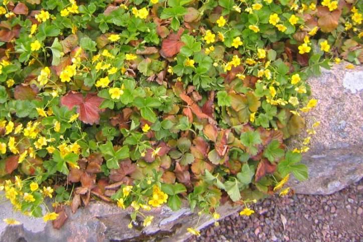 Waldsteinia-blom