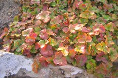 Gullgröna, Waldsteinia ternata, höstfäger