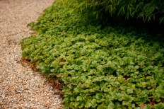 Waldsteinia ternata, gullgröna