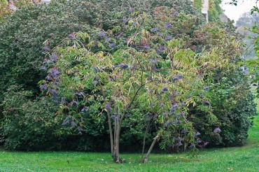 Blåfläder, Sambucus nigra ssp. cerulea