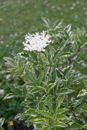 Vitbrokig fläder, Sambucus nigra 'Marginata'