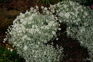 Cerastium tomentosum 'Silberteppich', silverarv