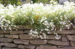 Cerastium tomentosum, silverarv på murkrön