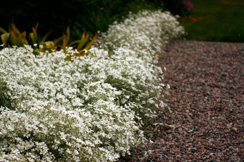 Cerastium tomentosum, silverarv
