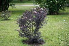 Finflikig purpurfläder, Sambucus nigra 'Eva', även kallad 'Black-Lace'