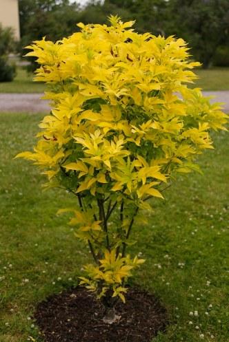 Guldfläder, Sambucus nigra 'Aurea