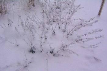 Vinterståndare av kantnepeta