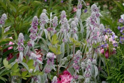 Blommande lammöron