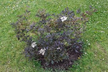 Purpurfläder, Sambucus nigra 'Purpurea'