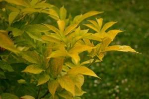 Sambucus nigra 'Aurea', Guldfläder