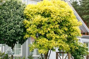 Sambucus nigra 'Aurea'