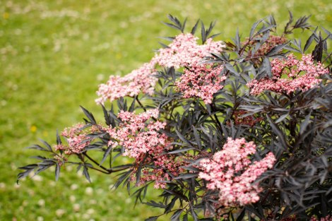 Sambucus nigra 'Eva' / 'Black Lace', rödbladig fläder