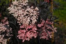 Sambucus nigra 'Eva' / 'Black Lace'