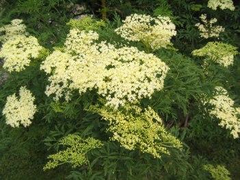Sambucus nigra f. laciniata