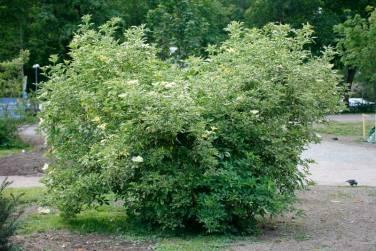 Sambucus nigra 'Marginata' / 'Variegata' / 'Albomarginata', vitbrokig fläder