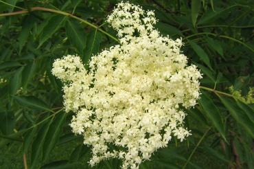 Blåfläder, Sambucus nigra ssp. cerulea, blommor