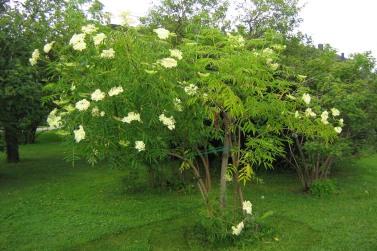 Blåfläder, Sambucus nigra ssp. cerulea, försommar