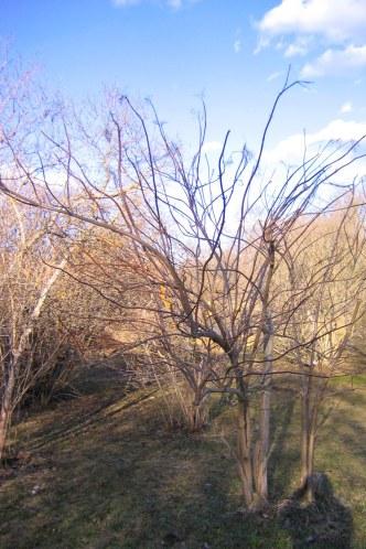 Blåfläder, Sambucus nigra ssp. cerulea, vintersiluett
