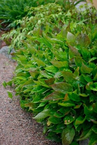 Vanligt ormöga har ofta delvis rödpigmenterade blad
