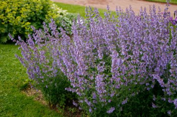 Kantnepeta 'Walkers Low'