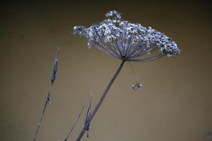 Fjällkvanne, Angelica archangelica ssp. archangelica, fröställning