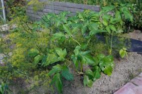 Fjällkvanne, Angelica archangelica ssp. archangelica, första årets växtfas (de gula blommorna är dill)