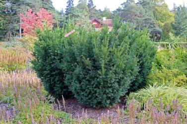 Hybrididegran, Taxus x media 'Brownii'