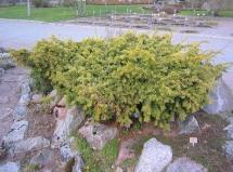 Gulbarrig blåidegran, Taxus baccata var. dovastoniana 'Dovastoni Aurea'
