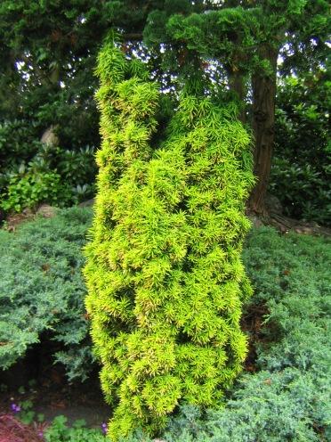 Idegran, Taxus baccata 'Fastigiata Aurea'
