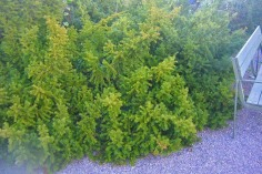 Hybrididegran, Taxus x media 'Green Mountain'