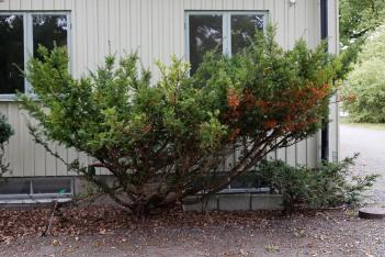 Idegran, Taxus baccata 'Hessei'