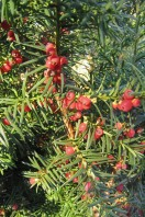 Hybrididegan, Taxus x media 'Hicksii'
