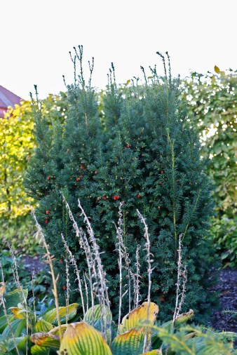 Hybrididegran, Taxus x media 'Adams'