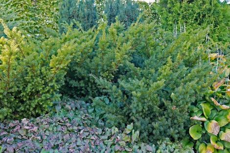 Hybrididegran, Taxus x media 'Densiformis'