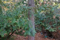 Hybrididegran, Taxus x media 'Thayerae' barr