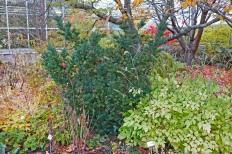 Japansk dvärgidegran, Taxus cuspidata 'Nana'