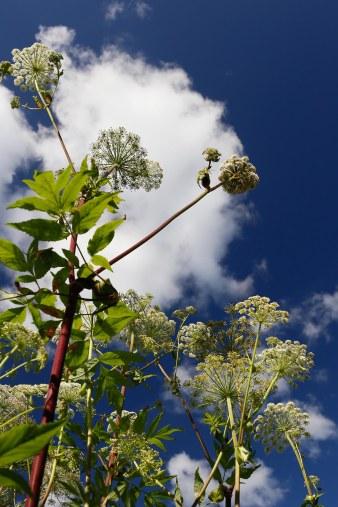 Fjällkvanne, Angelica archangelica ssp. archangelica