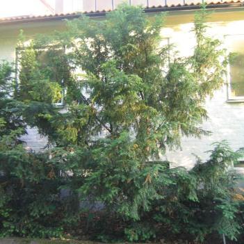 Idegran, Taxus baccata 'Nissens Kadett'