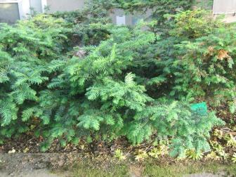 Idegran, Taxus baccata 'Nissens Regent'