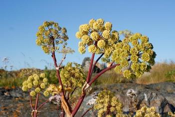 Strandkvanne, Angelica archangelica ssp. litoralis, fröställningar
