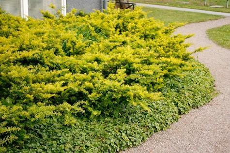 Idegran, Taxus baccata 'Summergold'