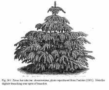 Blåidegran, Taxus baccata var. dovastoniana. Lånad bild.